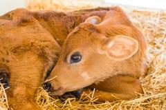 Vacas do bebê em uma exploração agrícola de leiteria em Pensilvânia central fotografia de stock
