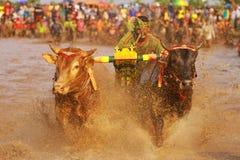Vacas do brujul da ninhada imagens de stock