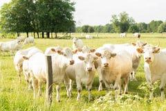 Vacas do charolês em um prado foto de stock