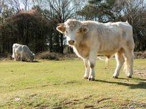 Vacas do charolês nos campos Imagens de Stock