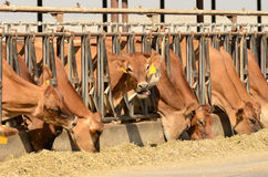 Vacas do jérsei Fotografia de Stock
