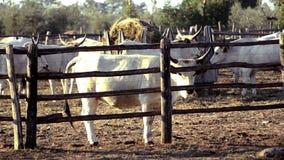Vacas do maremma video estoque