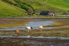 Vacas do od do grupo Fotografia de Stock Royalty Free