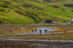 Vacas do od do grupo Fotografia de Stock