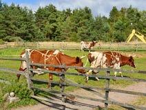 Vacas do puro-sangue na cerca Imagens de Stock