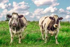 2 vacas duras en el prado Fotos de archivo libres de regalías