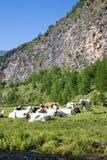 Vacas e alpes italianos imagem de stock royalty free