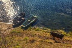 Vacas e barcos imagens de stock