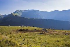 Vacas e cavalos que pastam Fotos de Stock Royalty Free