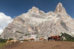 Vacas e cavalos sob Monte Pelmo no italiano Dolomities Fotografia de Stock