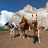 Vacas e cavalos sob Monte Pelmo no italiano Dolomities Fotos de Stock