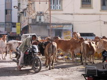 Vacas e desperdício santamente em Junagadh/Índia Imagens de Stock