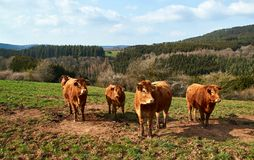 Vacas e gado de Brown em um dia de mola em Alemanha fotos de stock
