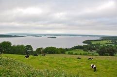 Vacas e lago de leiteria na Irlanda Imagens de Stock