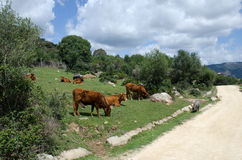 Vacas e porcos Imagem de Stock