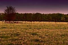 Vacas e touros que pastam em prados Fotos de Stock