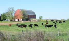 Vacas e um celeiro vermelho fotos de stock royalty free