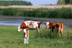 Vacas e vitela no pasto Fotografia de Stock Royalty Free