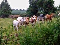 Vacas e vitelas Foto de Stock Royalty Free