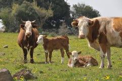 Vacas e vitelas Fotografia de Stock Royalty Free