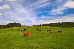 Vacas e vitelas no campo Foto de Stock Royalty Free