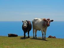 Vacas el mirar fijamente en una colina en la costa Fotos de archivo
