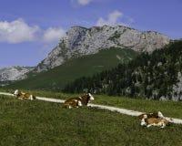 Vacas em Baviera Fotos de Stock Royalty Free