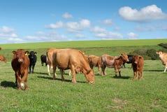 Vacas em Cornualha Fotografia de Stock