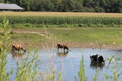 Vacas em The Creek Imagem de Stock Royalty Free