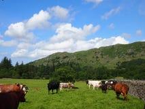 Vacas em Eskdale, distrito do lago fotos de stock