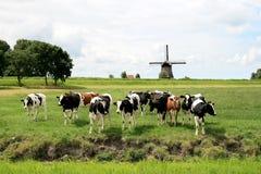 Vacas em paisagens holandesas com moinho Fotografia de Stock Royalty Free