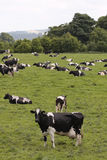 Vacas em pastar o campo Fotos de Stock