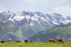 Vacas em Suíça Fotografia de Stock