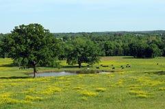 Vacas em torno da lagoa Imagem de Stock Royalty Free
