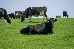 Vacas em um campo Fotografia de Stock