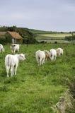 Vacas em um campo Imagem de Stock