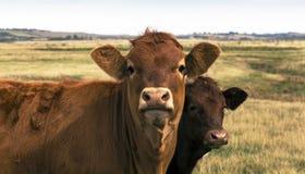 Vacas em um campo foto de stock royalty free