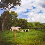 Vacas em um campo gramíneo fresco em um dia nebuloso fotografia de stock
