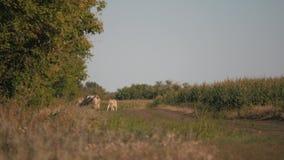 Vacas em um campo verde E vídeos de arquivo