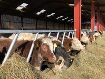 Vacas em um celeiro, alimentando no feno imagens de stock royalty free