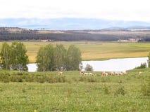 Vacas em um lugar molhando Fotos de Stock Royalty Free