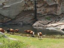 Vacas em um lugar molhando nas montanhas imagens de stock