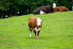 Vacas em um monte. Foto de Stock Royalty Free