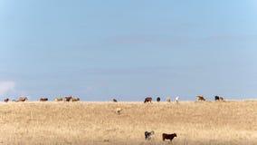 Vacas em um monte seco do campo imagens de stock