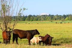 Vacas em um pasto Fotografia de Stock Royalty Free