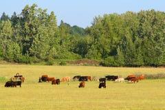 Vacas em um pasto Fotografia de Stock