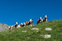 9 vacas em um pasto da montanha alta Fotografia de Stock Royalty Free