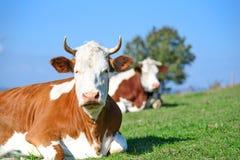 Vacas em um pasto das montanhas Fotos de Stock