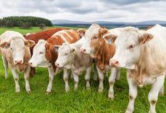 Vacas em um pasto do verão fotos de stock royalty free