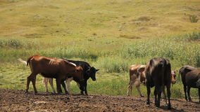 Vacas em um pasto do verão video estoque